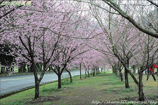 2011 武陵櫻花祭 123.JPG