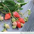 大湖草莓之旅 021.JPG