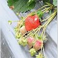 大湖草莓之旅 036.JPG