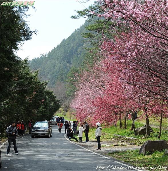 2011 武陵櫻花祭 339.JPG