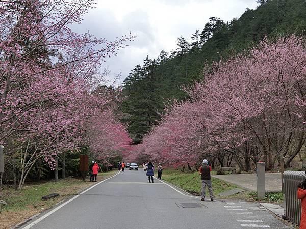 武陵櫻花7.jpg