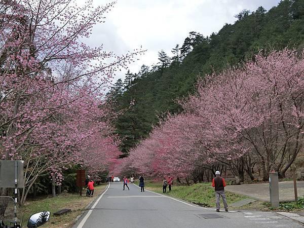 武陵櫻花9.jpg