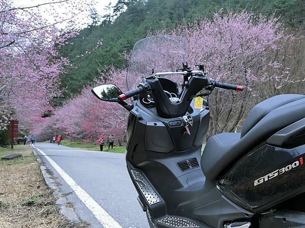 武陵櫻花10.jpg
