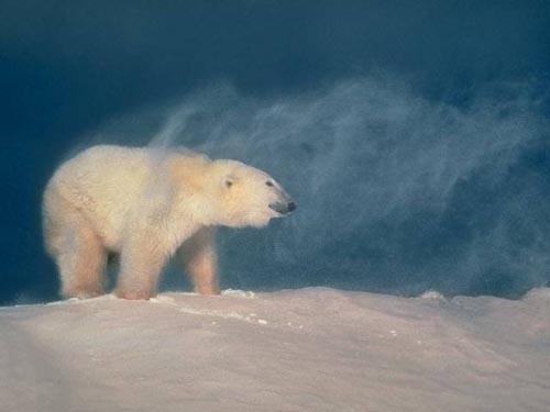北極熊01.jpg