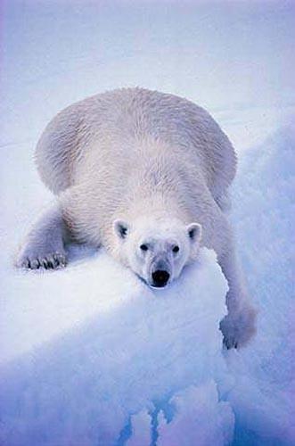 北極熊02.jpg