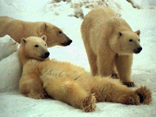 北極熊04.jpg