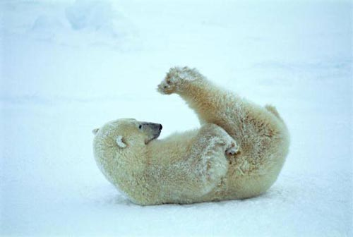 北極熊05.jpg