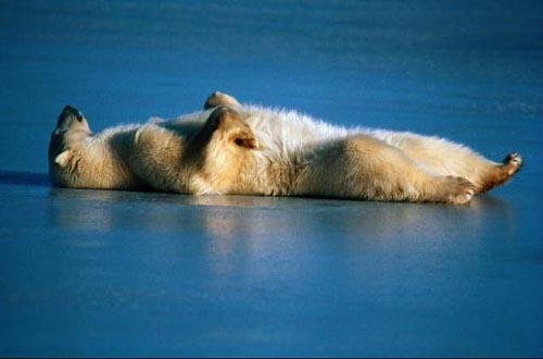 北極熊06.jpg