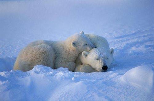北極熊10.jpg