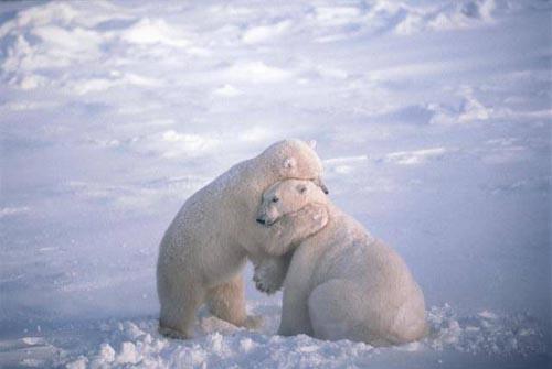 北極熊11.jpg