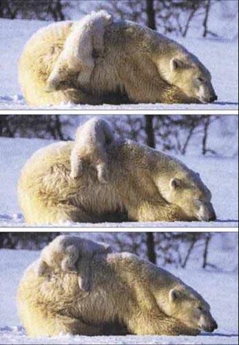 北極熊12.jpg