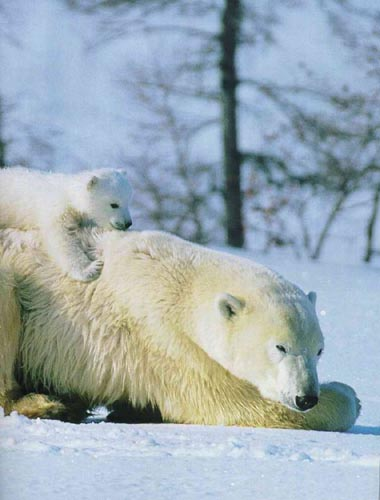 北極熊13.jpg