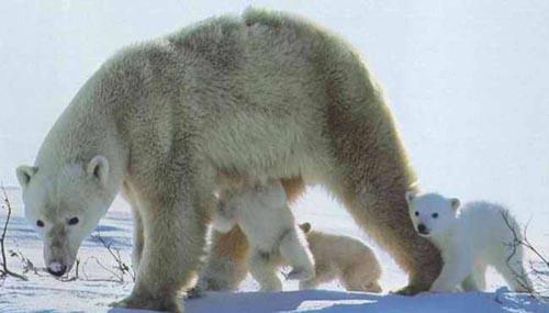 北極熊15.jpg