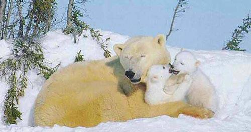 北極熊16.jpg