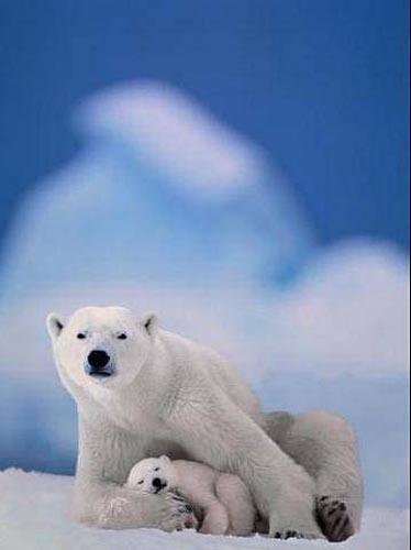 北極熊17.jpg