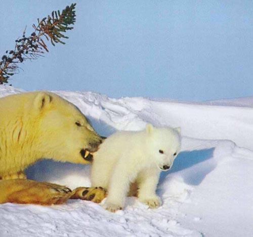 北極熊18.jpg