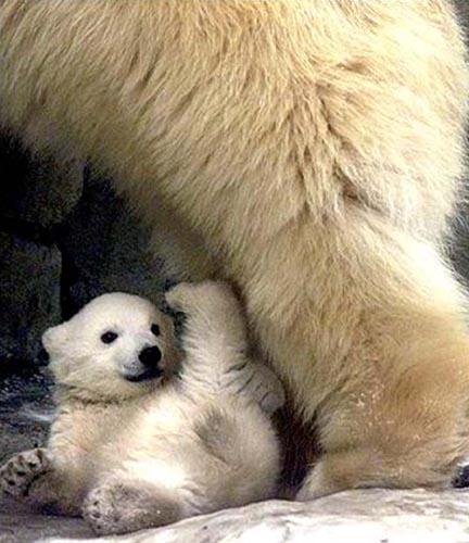 北極熊20.jpg