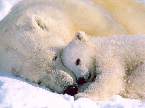 北極熊21.jpg