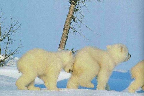 北極熊22.jpg
