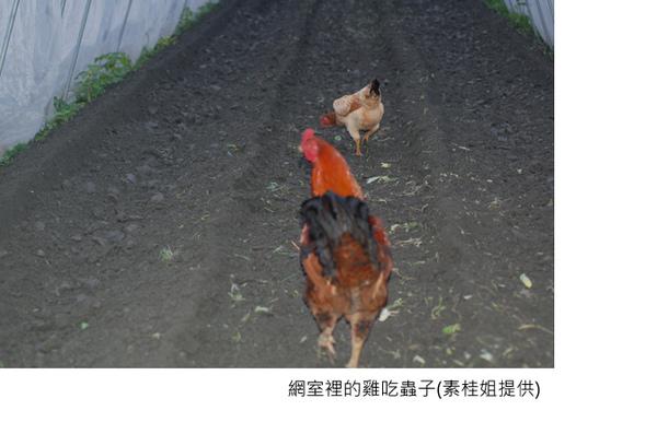 網室裡的雞吃蟲子字.jpg