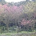 滿坑滿谷的櫻花~