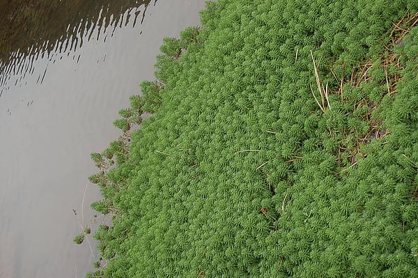 他們是圓圓的水草