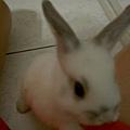 真兔子有耳朵