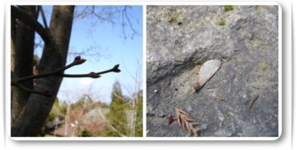 楓與槭分辨.jpg