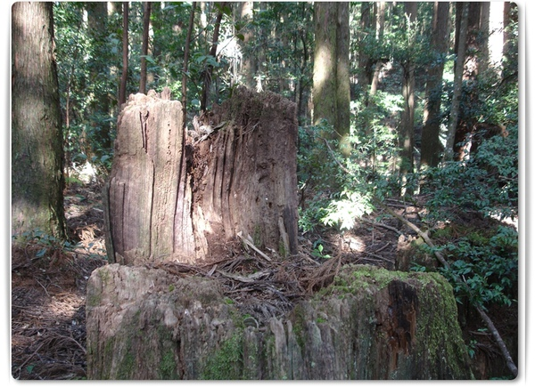 2011.02.27-37  野馬瞰山(伐樹).JPG