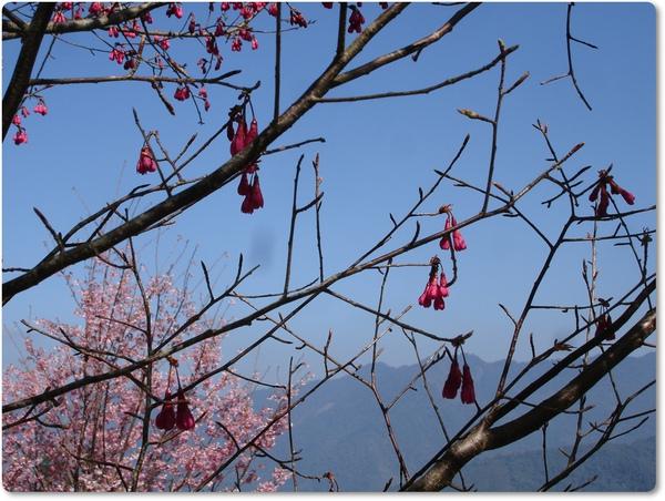 2011.02.27-11 櫻花.JPG
