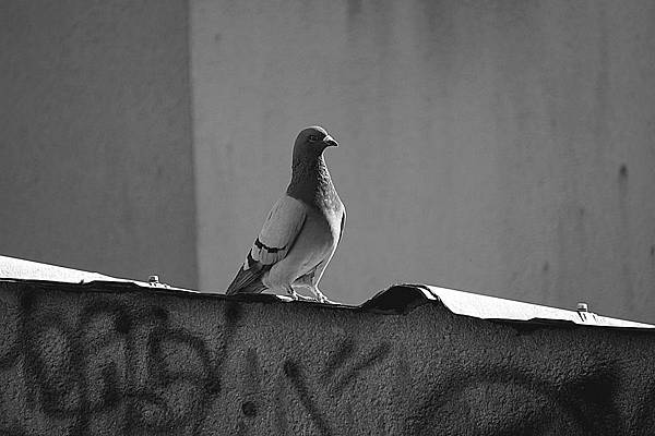 pigeon-1434119_960_720.jpg