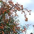 院子裡的秋柿長滿整樹