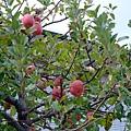因為長這麼大生平第一次看到蘋果樹!!