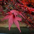 紅通通的楓葉
