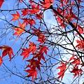 覺得楓葉還是白天看最有感覺 就跟櫻花一樣