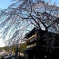 好喜歡這個景!!很羨慕這戶人家開窗就能看到櫻花