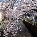 京都河原町隨便一條小徑的櫻花都美到令人尖叫!!