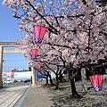 櫻花+粉紅燈籠好有詩意!!