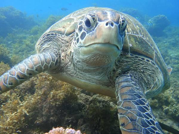 小琉球浮潛,遇見海龜