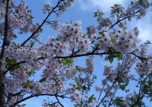 阿里山櫻花02