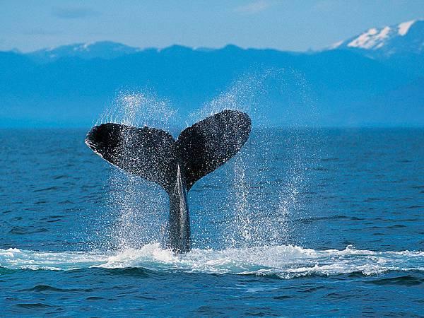 Humpback Whale.jpg