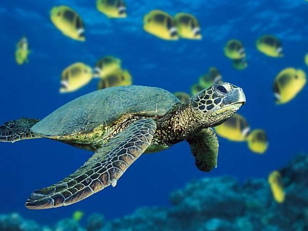 Green Sea Turtle.jpg