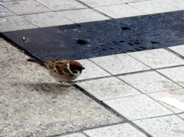窗外獨自散步的小麻雀