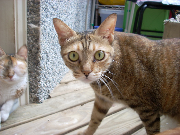 瘦弱的古埃及貓