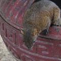 近拍--在找食物的松鼠..一點都不怕人