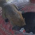 尋找食物中的松鼠 .才不管有人正拿著手機對著他呢