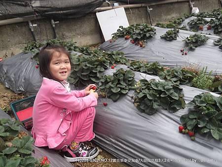 大湖金榜採草莓