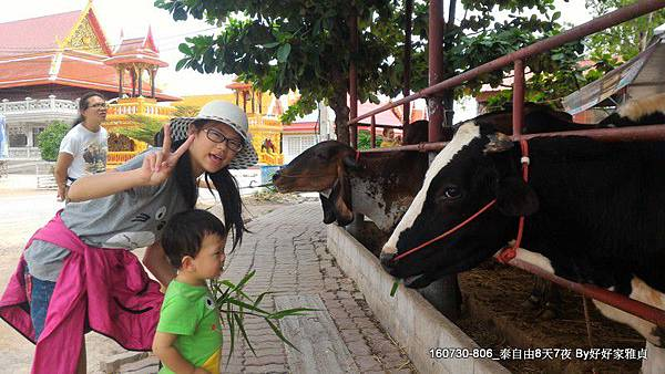 160805_1amphwa廟餵牛 (4).JPG