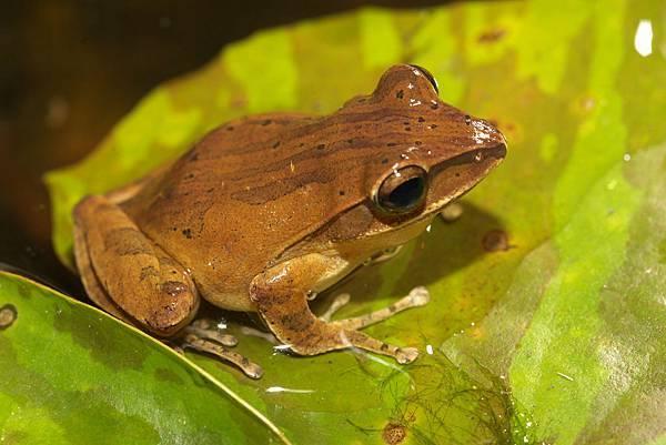 白頜樹蛙 (2).jpg