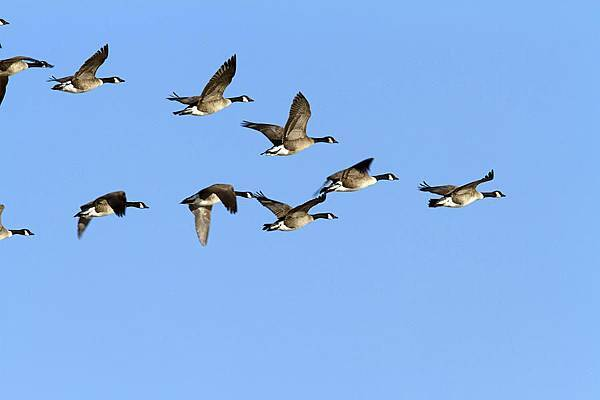 group-of-canada-geese-in-flight-branta-philippe-henry